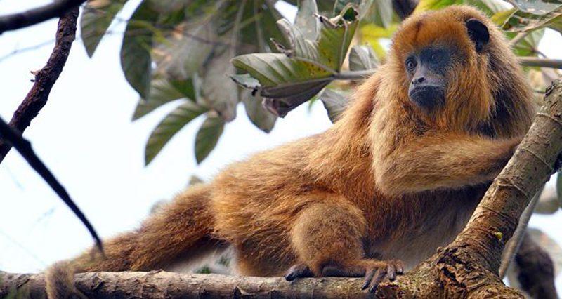 Corrientes: Buscan declarar a los monos carayá como monumento natural de la provincia
