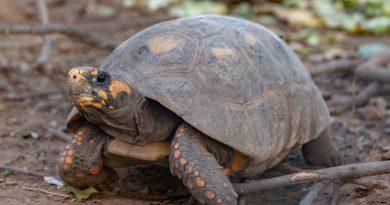 VIDEO | El Impenetrable: La tortuga Yabotí regresa a Argentina